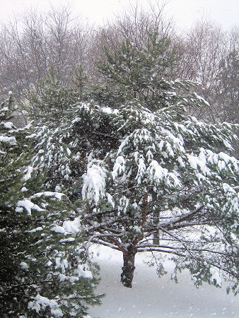 pine tree in a snow storm