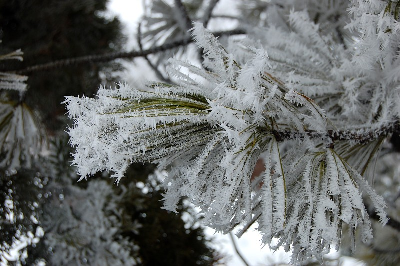 hoarfrost on an evergreen