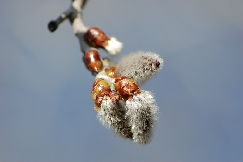 birch tree seed pods