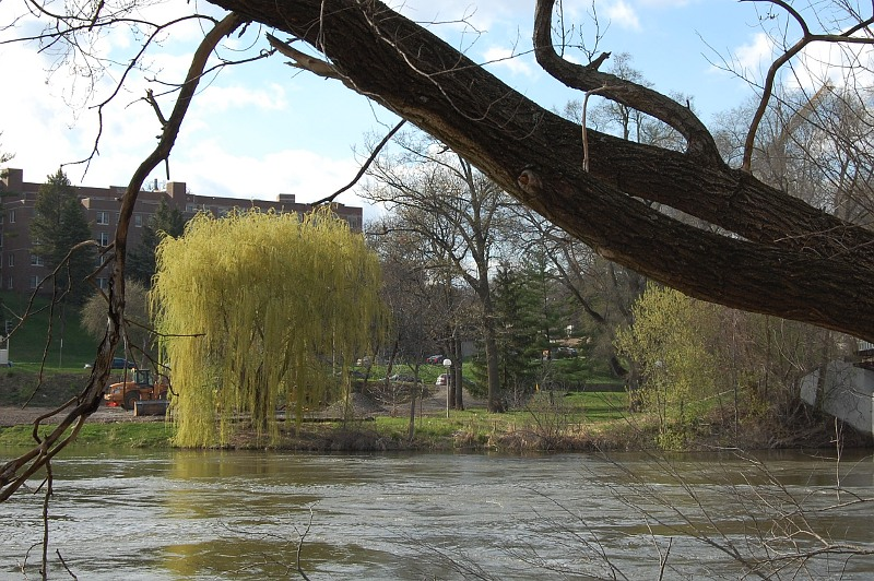 willow tree along side the Iowa River