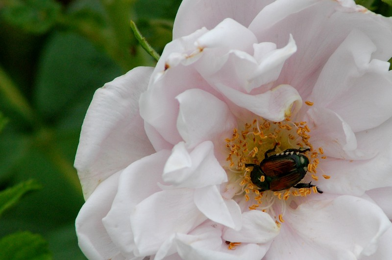 beetle inside a flower