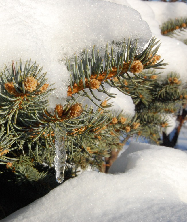 pine tree branches with snow and icicle