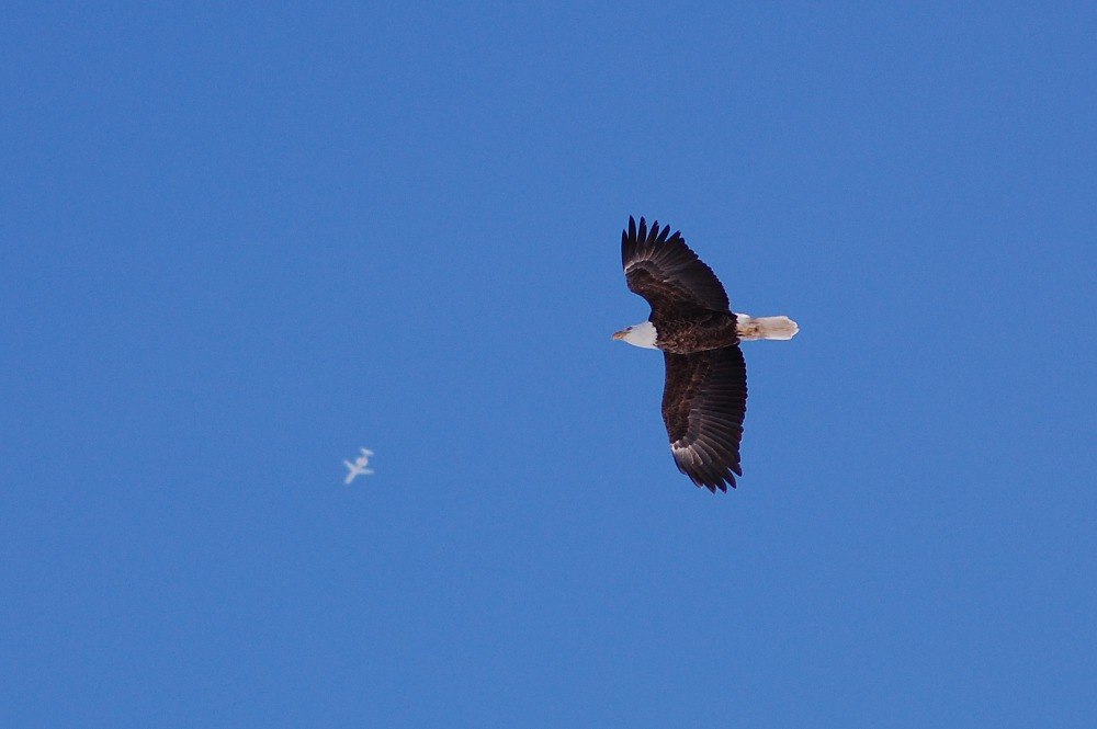 bald eagle soaring with jet in background