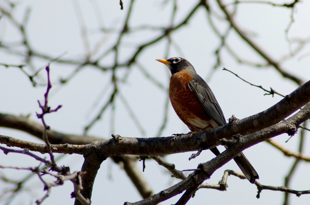 Robin perched on bare tree