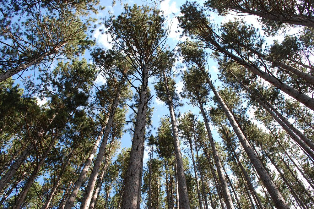 tops of a group of tall pine trees