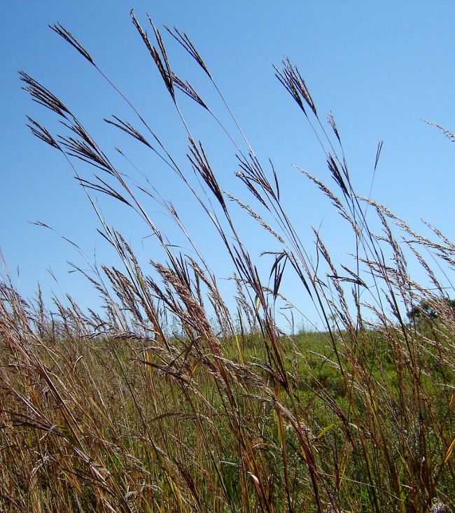 very tall prairie grass