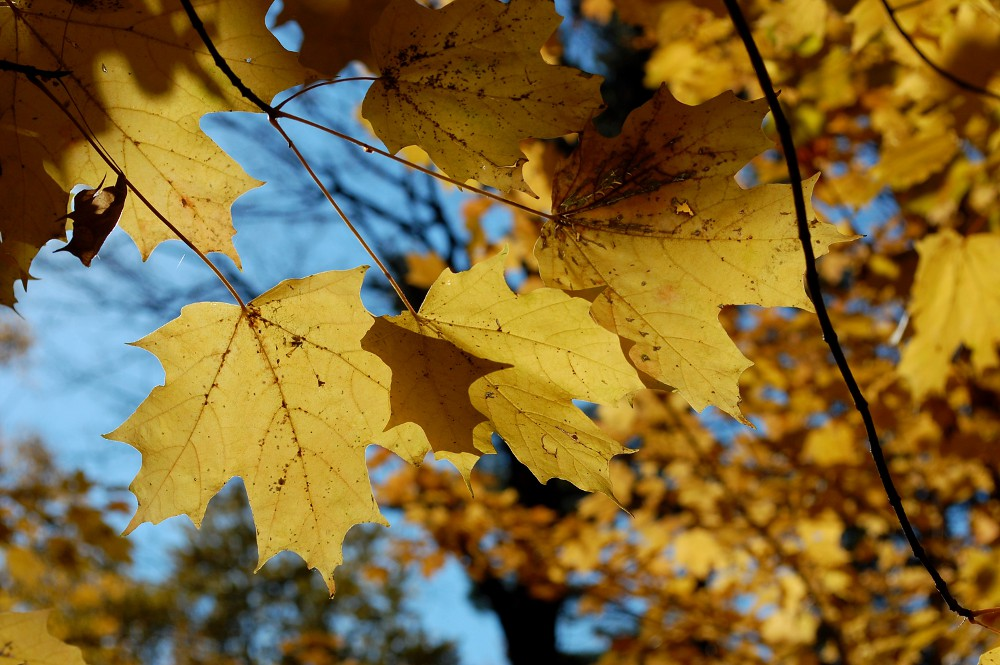 yellow maple leaves