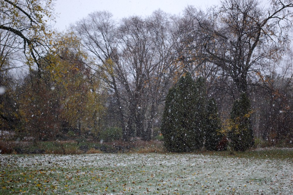 snow falling in a grove of trees