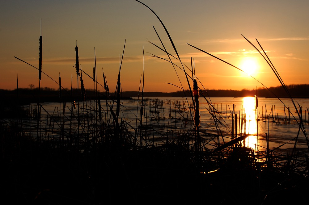 sun setting among cattails