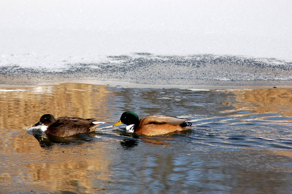 ducks swimming near frozen water