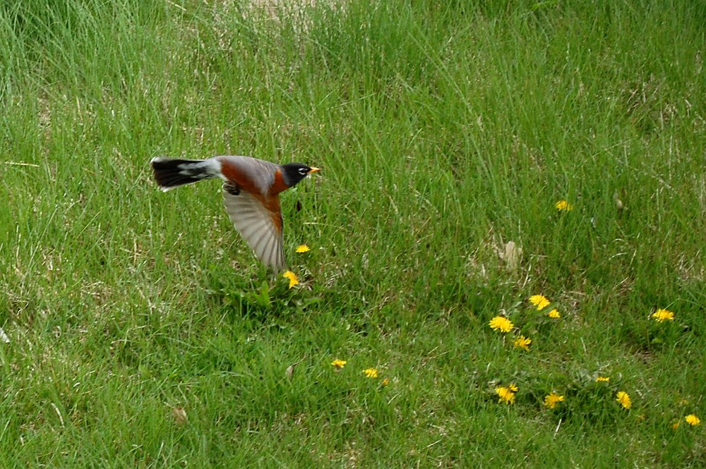 robin flying off the ground