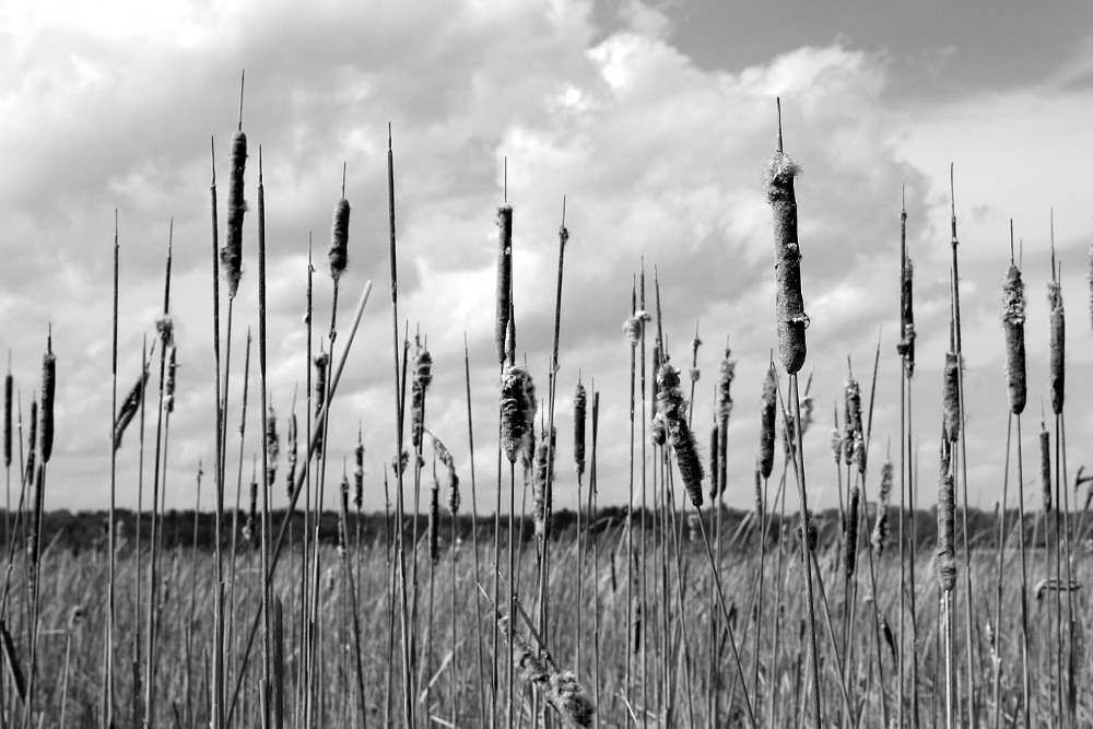 cattails against the sky