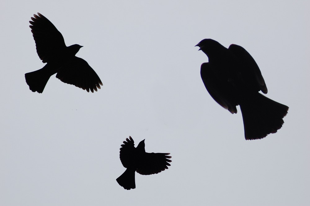 flying blackbird silhouettes