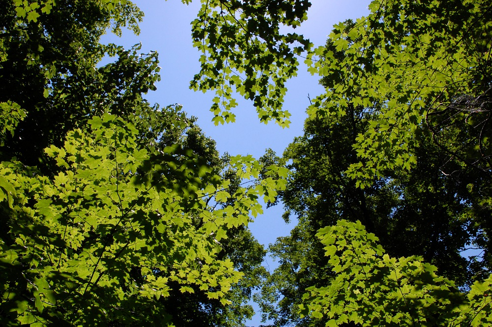 canopy of maple trees