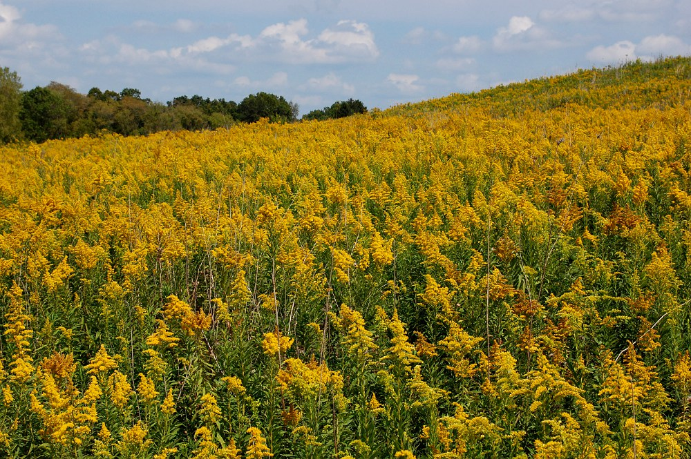 field of goldenrod, along a hillside