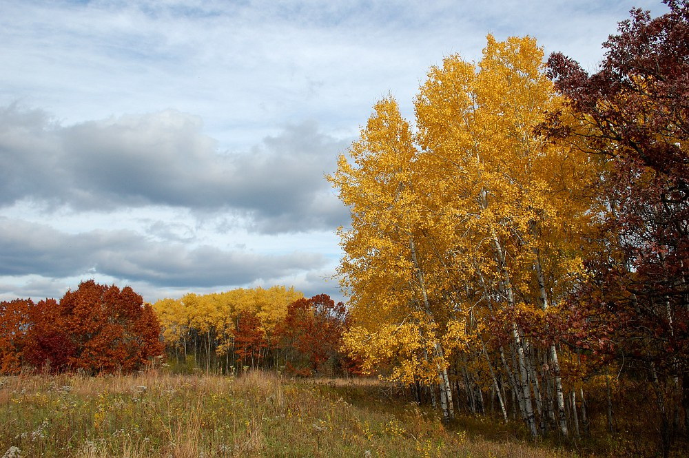 Birch and Oak trees in Autumn