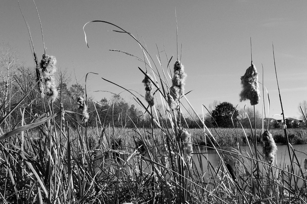 cattails along a pond