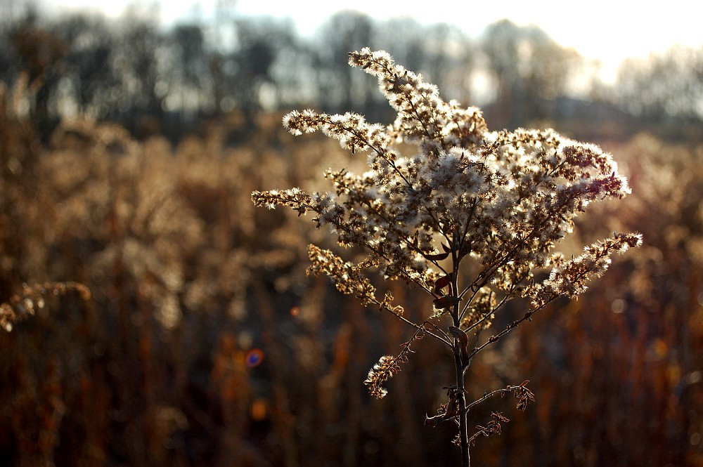 goldenrod backlit by the sun in late autumn