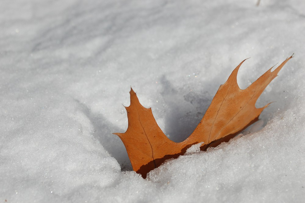 maple leaf in the snow