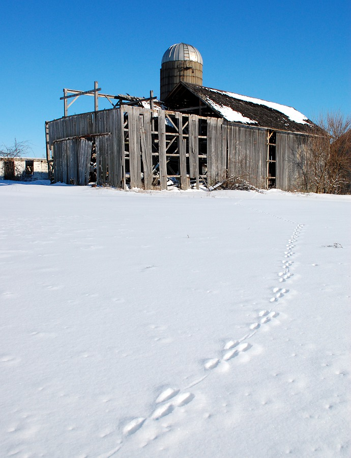 rabbit tracks leading to old abandoned barn