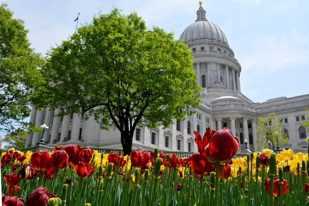 Tulip blossoms in front of the Wisconsin Capitol