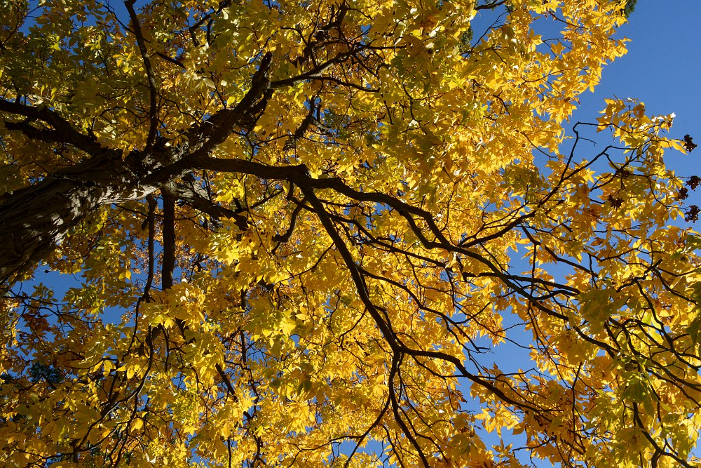yellow hickory tree in autumn