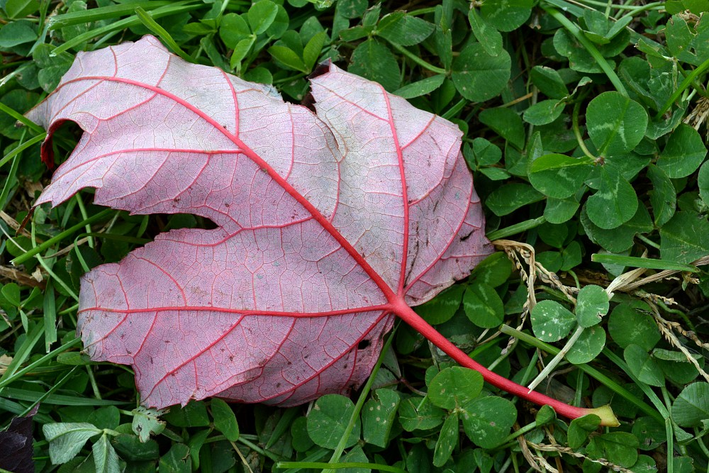back of a red maple leaf, sitting in clover