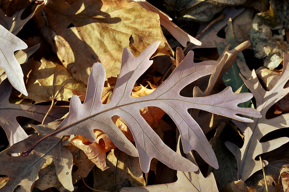 Oak leaf atop other fallen leaves