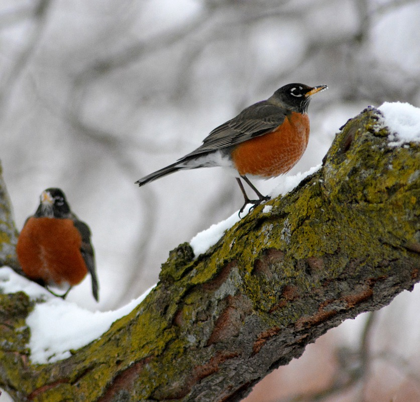 robins perched on a tree in winter