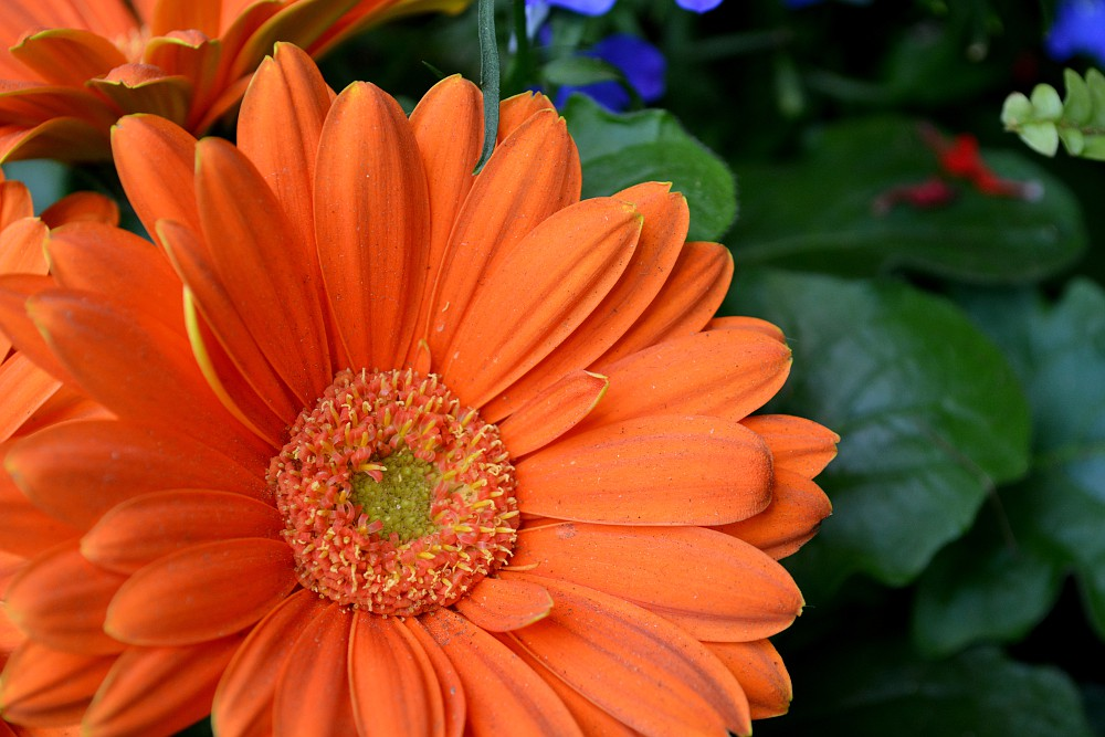closeup of orange zinnia
