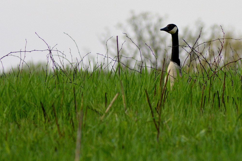 goose's head above tall grass