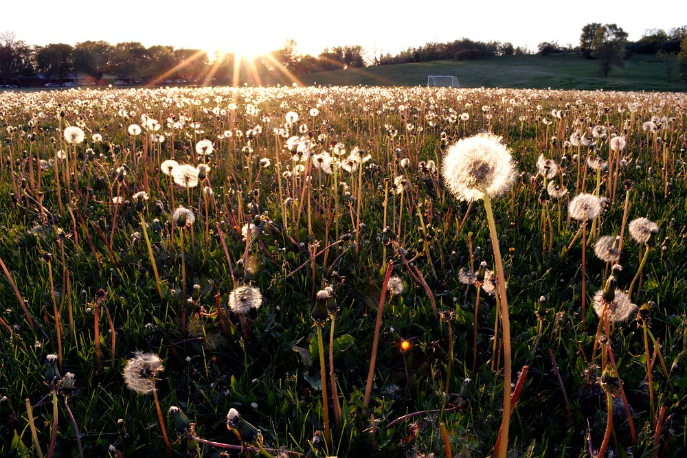 field of dandelions at sunset