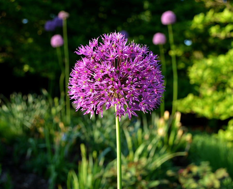 ornamental onion blossom