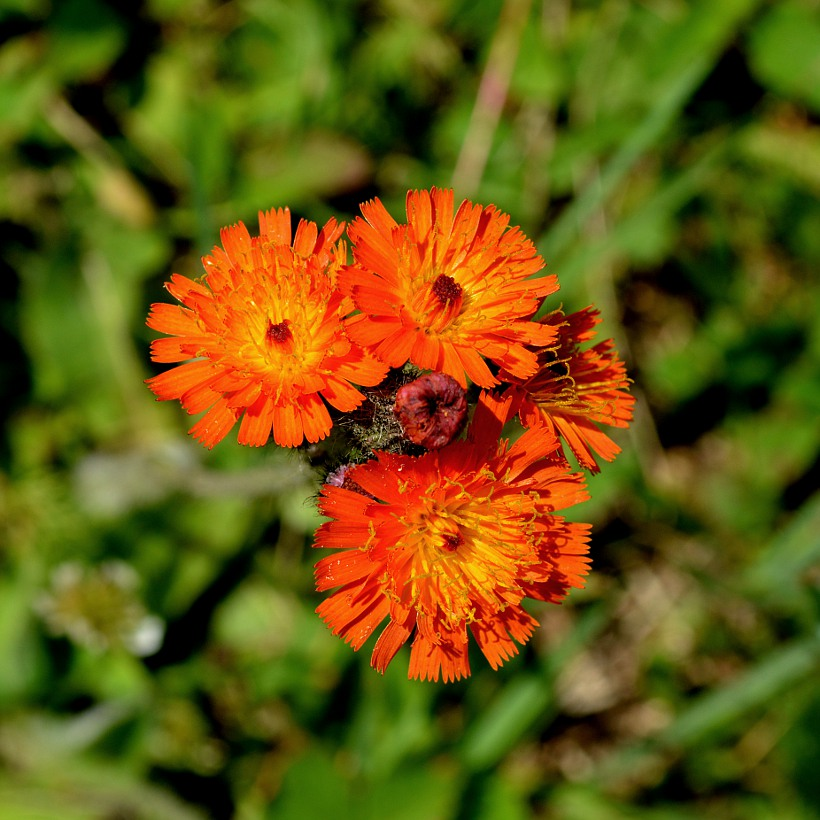 orange hawkweed blossoms