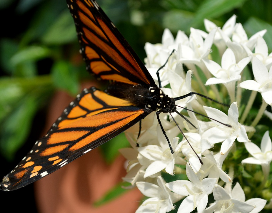 Monarch butterfly feeding on a flower