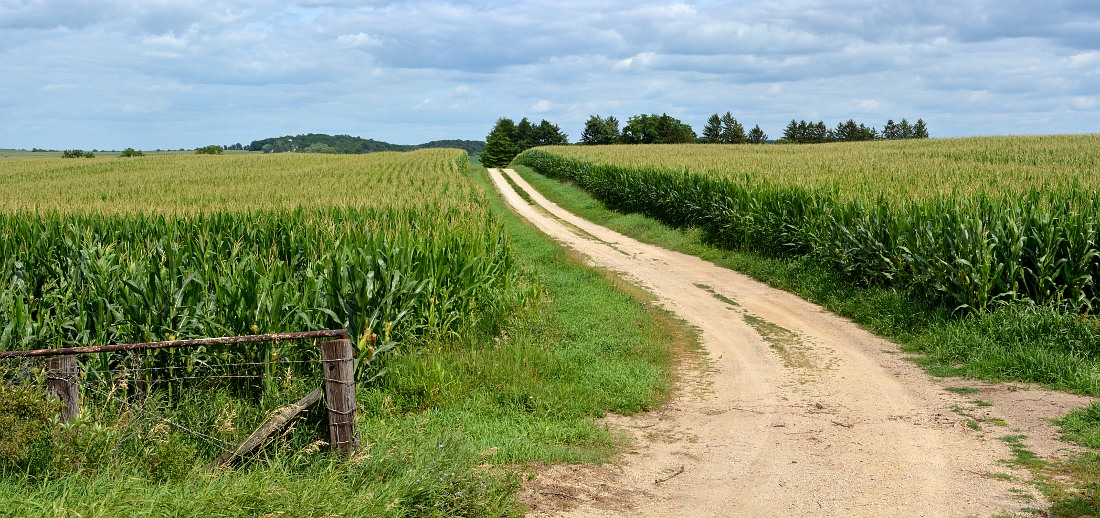 cornfield with gravel road