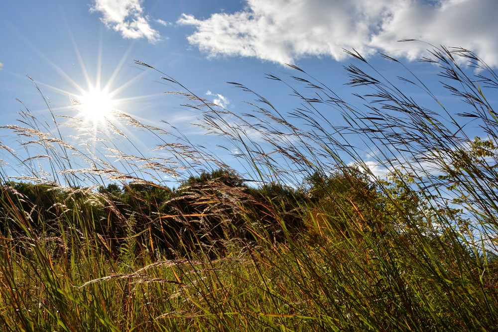 Tall prairie grass, bending toward the shining sun