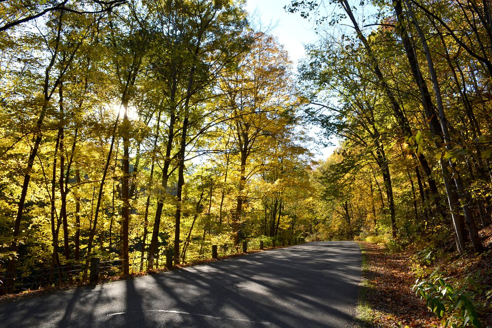 Winding road surrounded by yellow maple trees