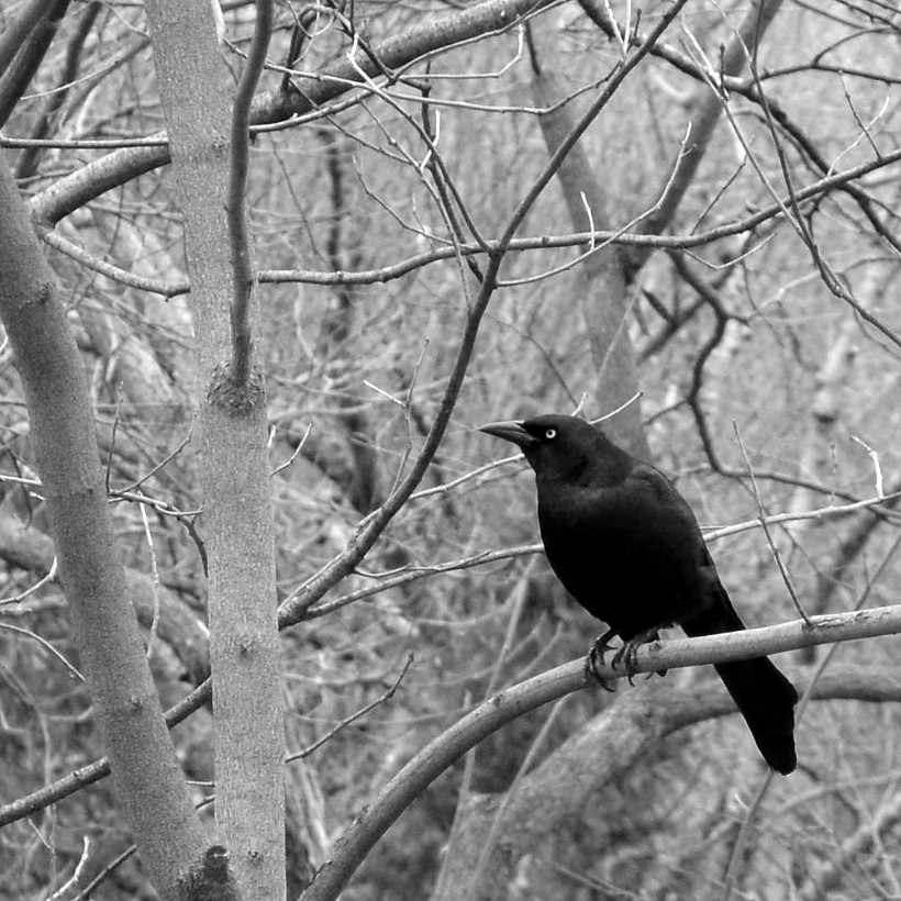 common grackle perched on bare branches