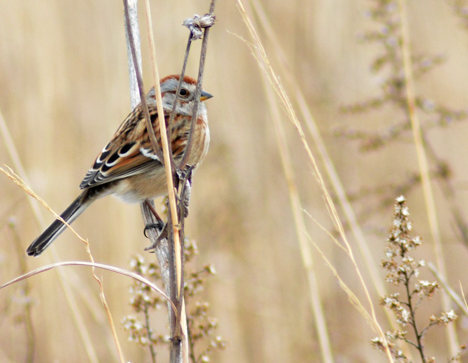 American tree sparrow in tall grass