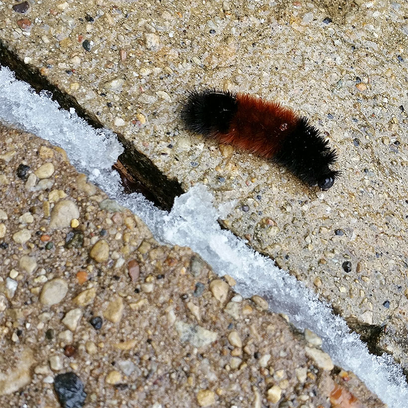 Wooly caterpillar on concrete