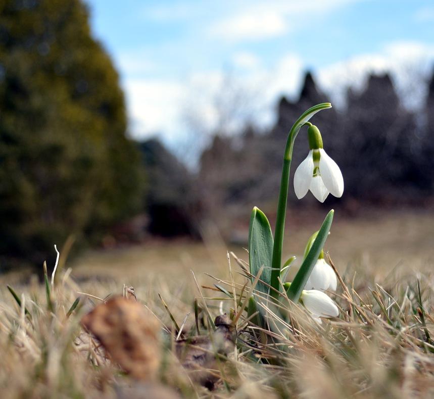 snow drop blossom