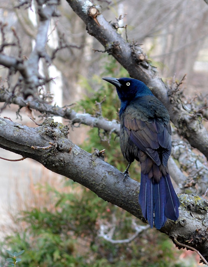 Common grackle, perched on a tree branch