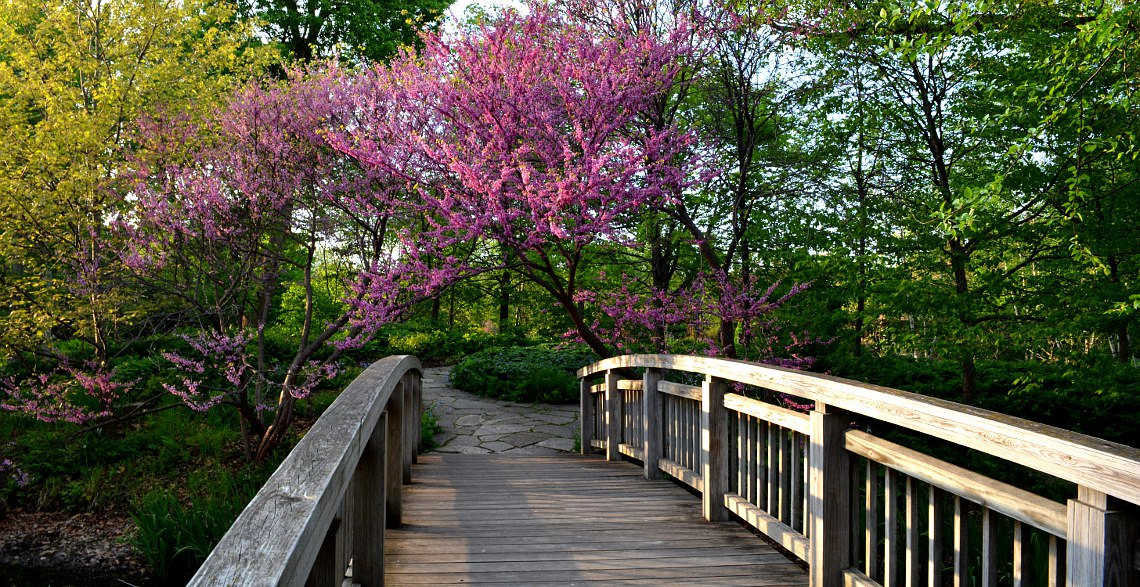 Bridge with Redbud tree