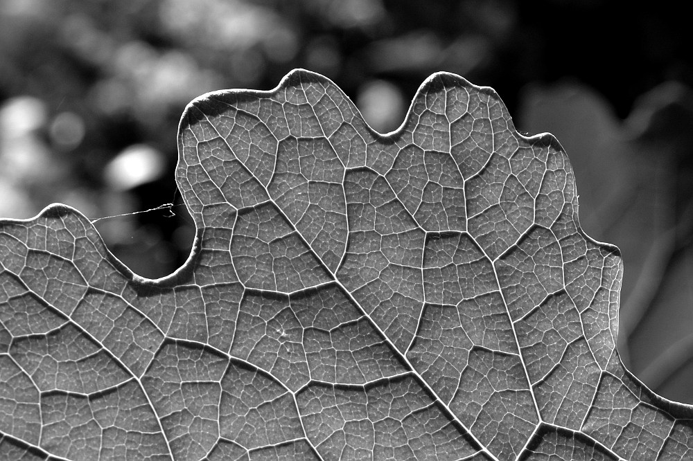 underside of a backlit leaf