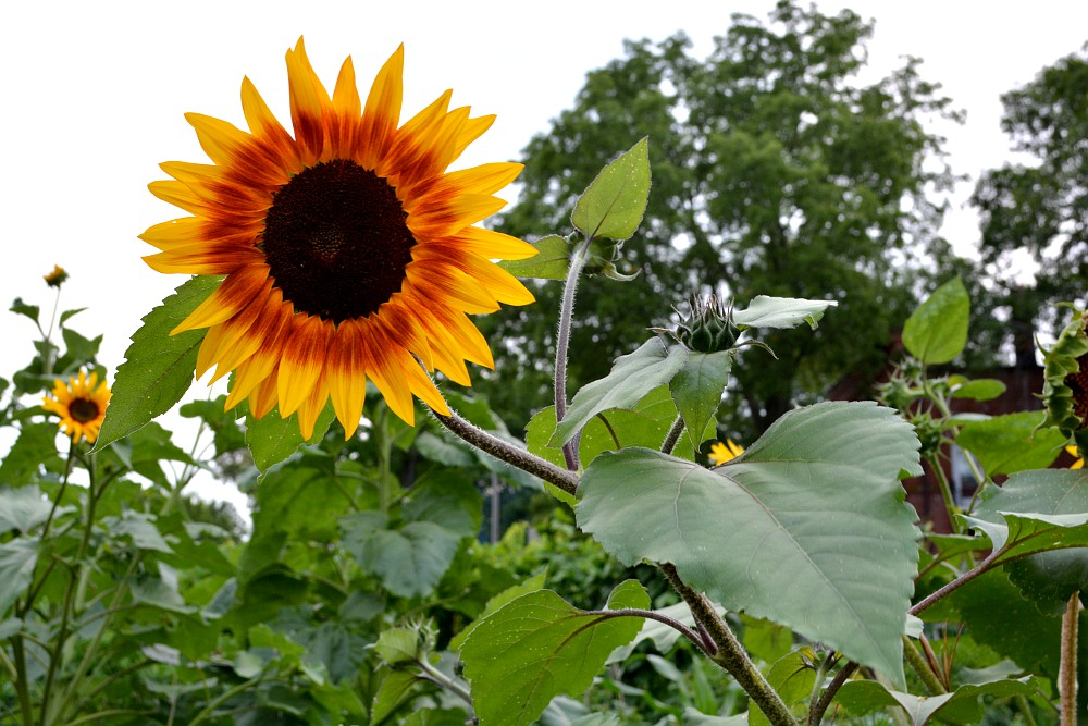 Sunflower with dark red inner disk