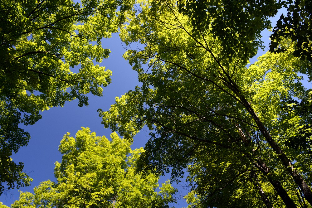 underside of treetops below a blue sky