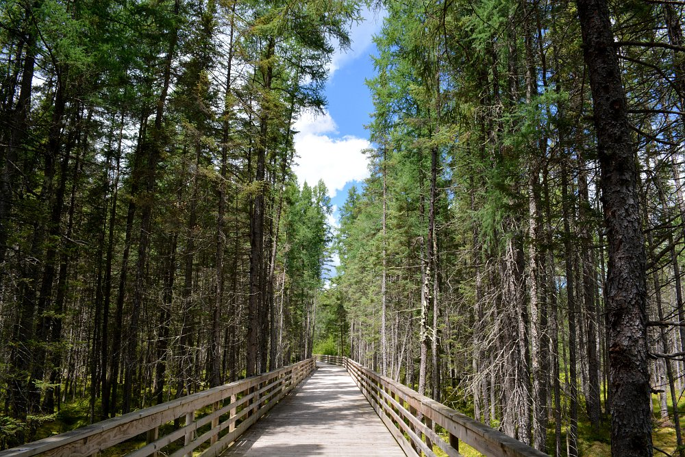 boardwalk bike trail through a pine forest