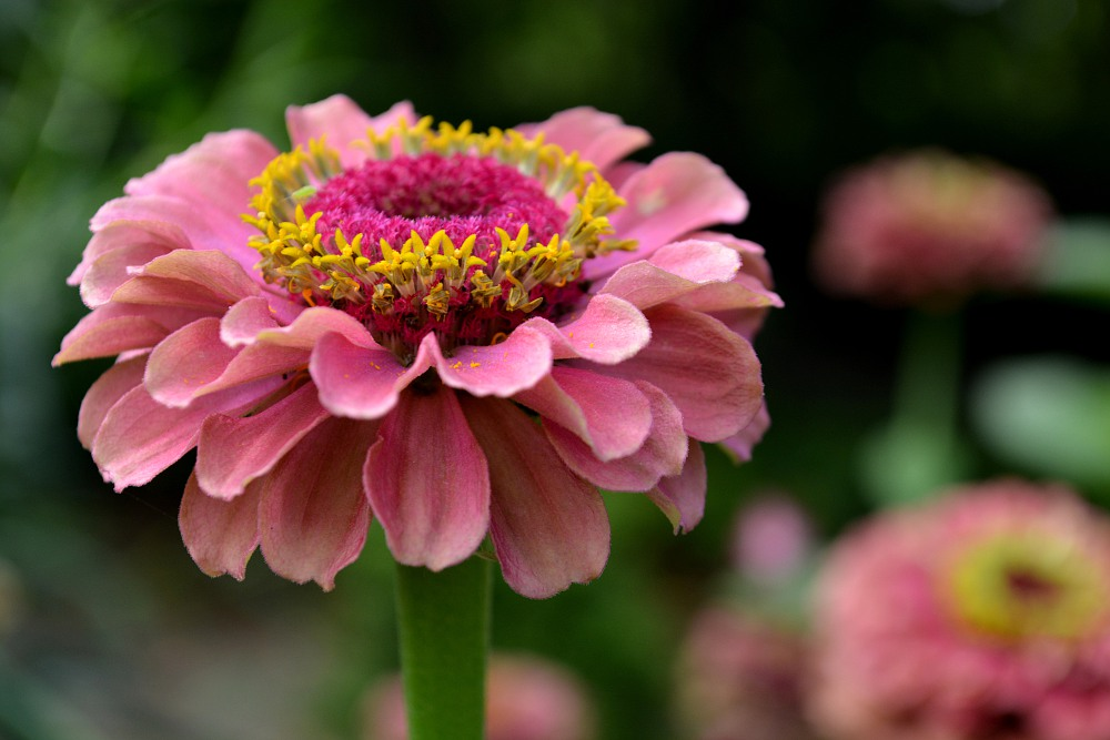 pink colored zinnia flower