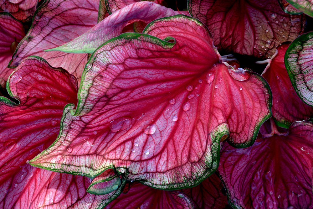 red plant leaf outlined with green